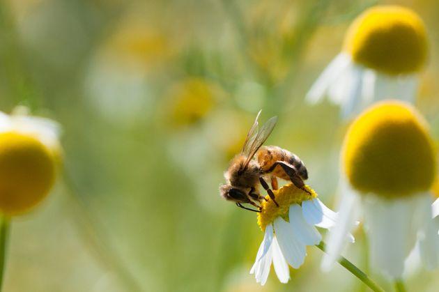 ミツバチも個体数が減っていることが近年問題になっている