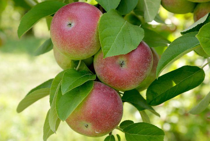 Pas assez sucrée, la pomme McIntosh n'a tout simplement plus la cote dans les vergers et en magasin.