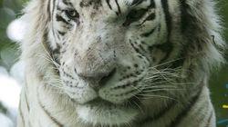 Sherkan l'emblématique tigre blanc du zoo de Beauval est mort à 18