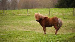 Un poney mort par strangulation en