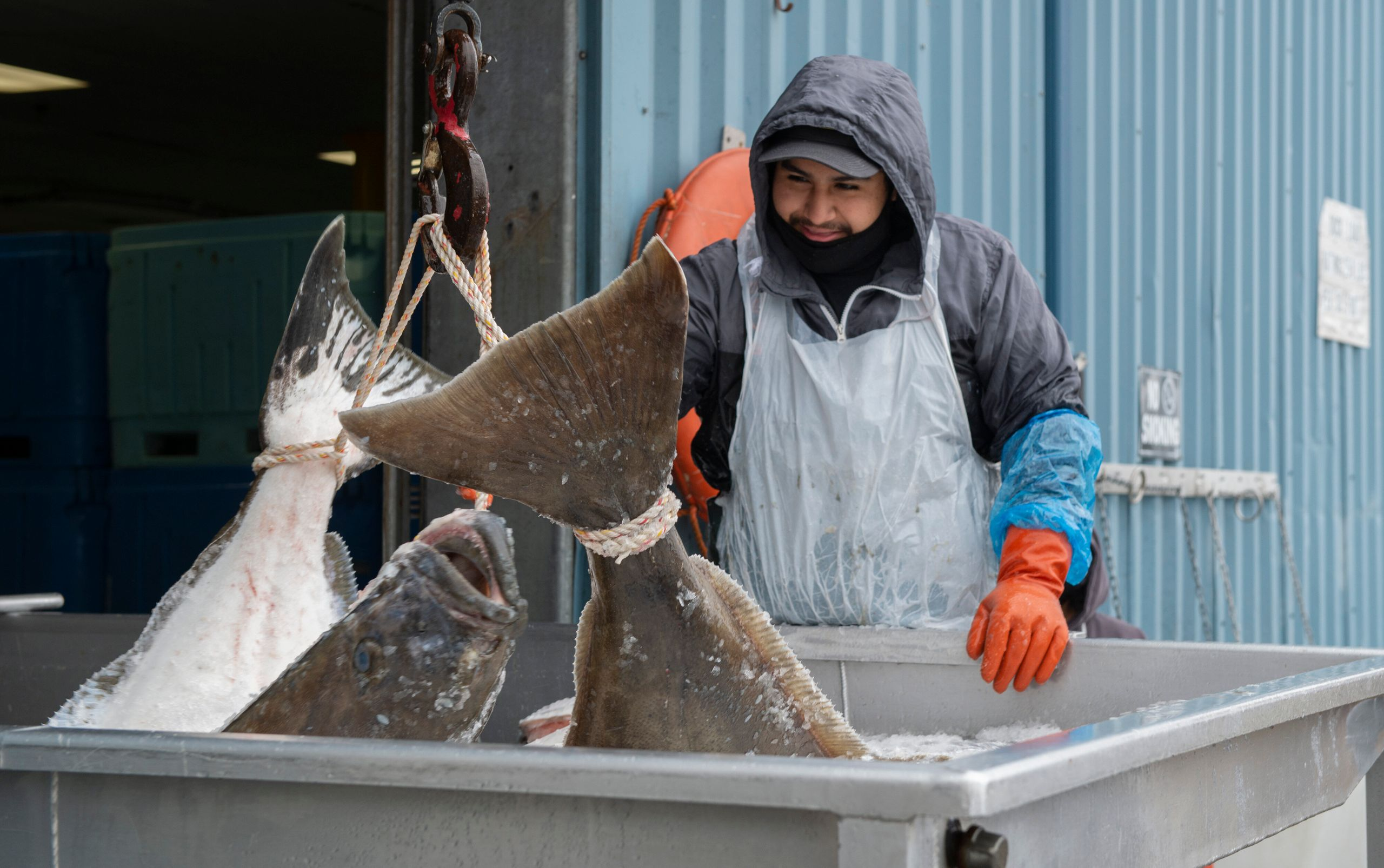 Once caught, fish are kept on ice for the journey back to port, where they are processed and packed for delivery.