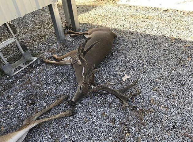 クレイグ・フォンテノー氏が提供した蚊の大群によって死んだ鹿