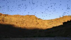 ルイジアナ州で蚊の大群が発生。襲われた牛や馬や鹿、400頭以上が大量死