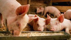 돼지도 코로나19에 감염될 수
