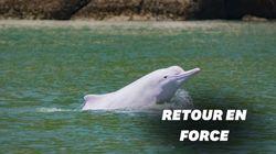 Hong Kong retrouve ses dauphins blancs grâce au calme lié à la