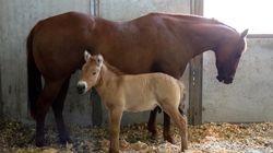 Ο Κουρτ, άλογο-κλώνος, δημιουργήθηκε με γενετικό υλικό 40