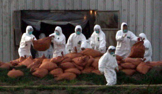 21세기에도 여전히 집단감염병의 확산을 막기 위한 대응으로 가장 많이 쓰이는 것은 격리이다. 사람에게는 격리 치료가 제공되지만, 가축들에게는 격리 이후 살처분이 따르는 것이 다를 뿐이다. 2008년 4월 박종식 기자가 찍었다.