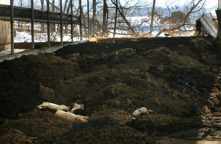 구제역은 인간에게 전파되지는 않는다. 그래서일까, 구제역으로 폐사한 동물들의 사체는 제대로 관리되지 않았다. 사체를 이렇게 방치하는 것은 2차 감염과 환경오염 문제를 일으킬 수도 있지만, 다른 생명을 존중하지 않는 인간성의 민낯을 보여주는 것 같아 더욱 씁쓸하다. 김현대 한겨레신문사 대표이사가 2011년 2월 기자 시절 촬영했다.
