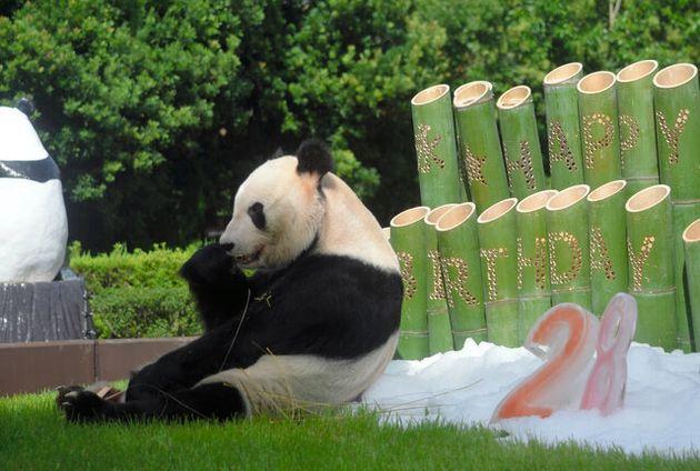 竹飾りと「28」の氷を贈られた永明=2020年9月14日午前9時31分、和歌山県白浜町のアドベンチャーワールド、大野宏撮影