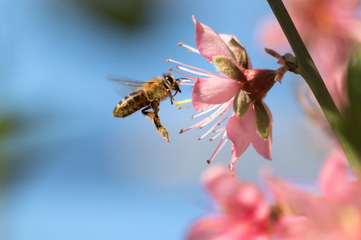 A honeybee flies to a desert gold peach flower. Many Americans choose pollinator-friendly plants for their gardens.