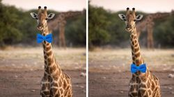 Debate Is Raging On Twitter Over How A Giraffe Should Wear A Bow
