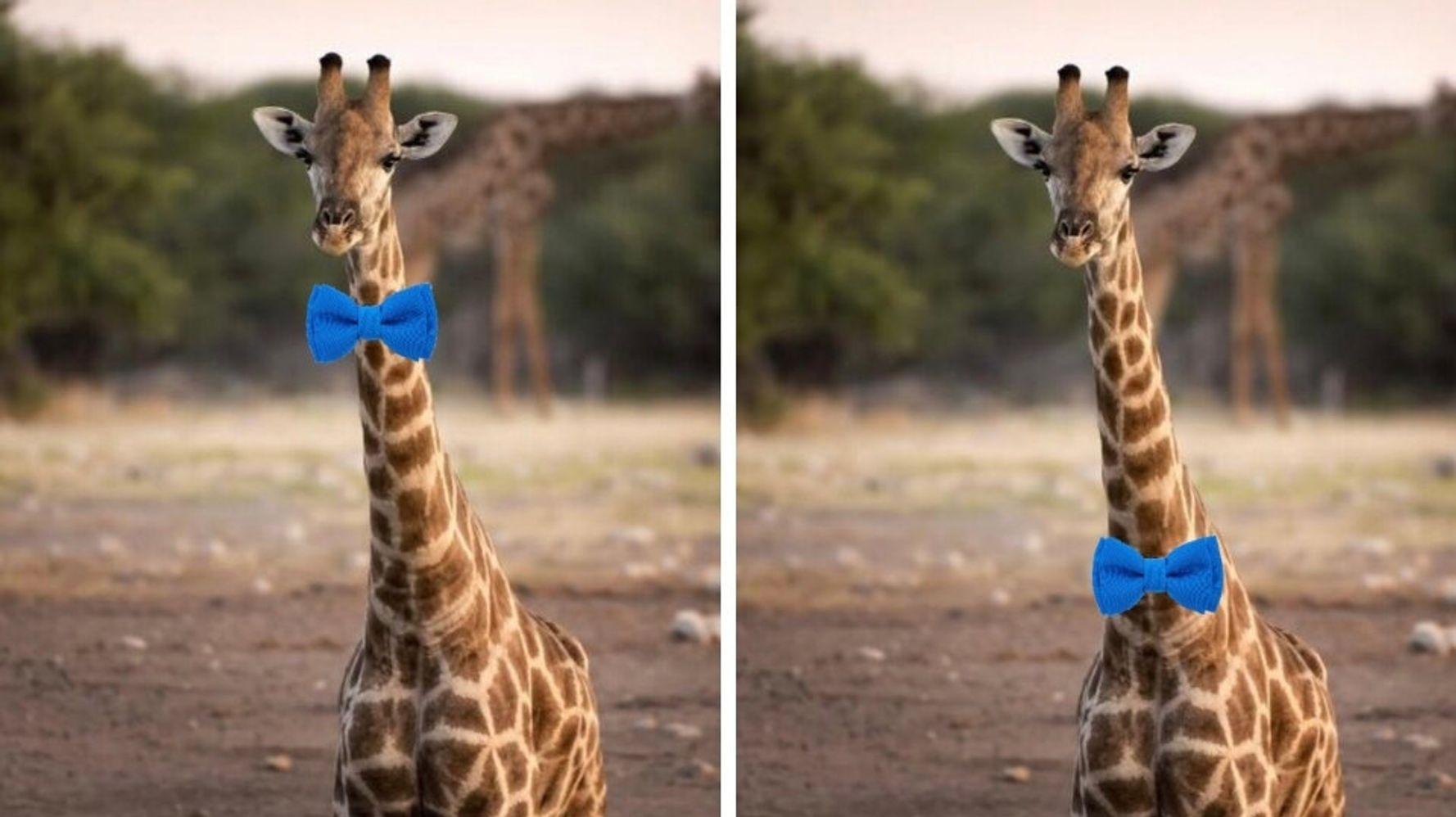 Debate Is Raging On Twitter Over How A Giraffe Should Wear A Bow Tie