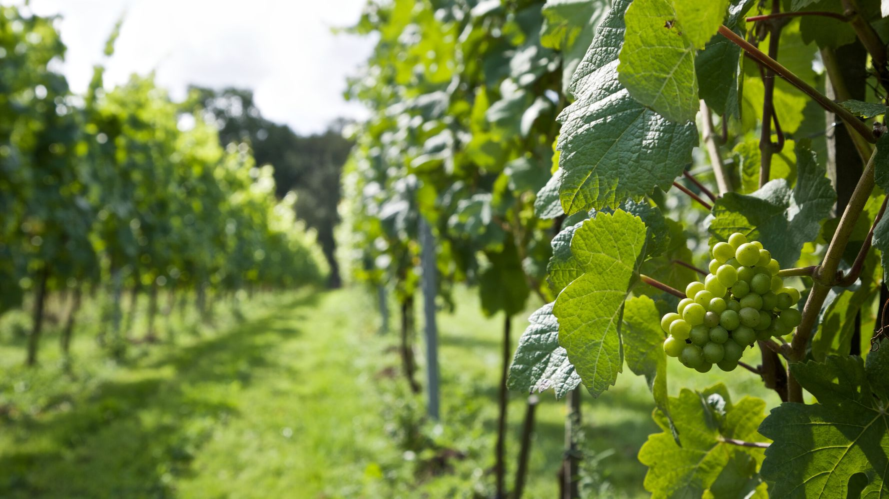 A Beginner's Guide to English Wine Now We Can't Do Booze Cruises
