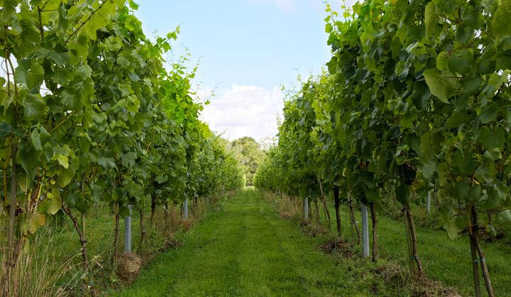 Oxney Organic Wine Estate in East Sussex.