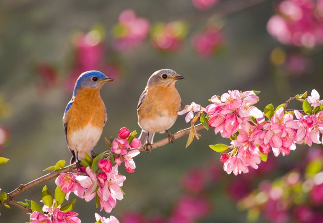 Eastern Bluebird Couple, male and female, perching on flowering spring