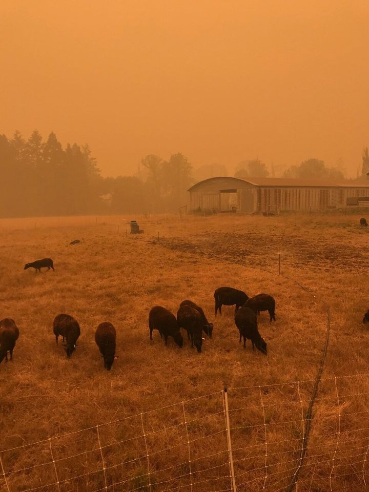 "Cattle graze at&nbsp;<a href=""https://digginrootsfarm.com/"">Diggin&rsquo; Roots Farm</a>&nbsp;in Oregon during the wildfires in September."