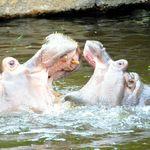 動物園で「余りやすい動物」の運命 カバの出目丸が旅立ったのは...