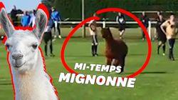 Un alpaca interrompt un match de football en