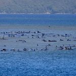 270 Whales Stuck On Sandbar Off Tasmania, 90