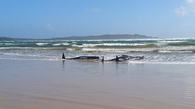 A massive rescue operation is underway to help at least 270 stranded pilot whales stranded on the west...