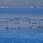 タスマニア島で270頭のクジラが座礁し90頭が死亡。「これほど大量の座礁は例がない」