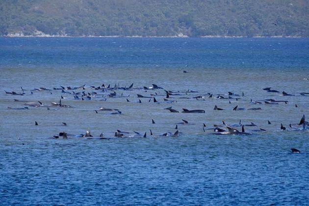 オーストラリア・タスマニア島のマッコーリーヘッズに座礁したゴンドウクジラ(2020年9月21日撮影)