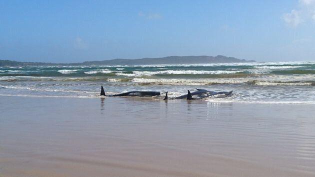 ビーチに座礁したゴンドウクジラを救うため、大掛かりな救助活動が行われている