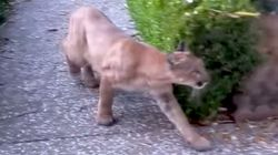 Chilling Footage Shows Mountain Lion Quietly Stalking Children Near San