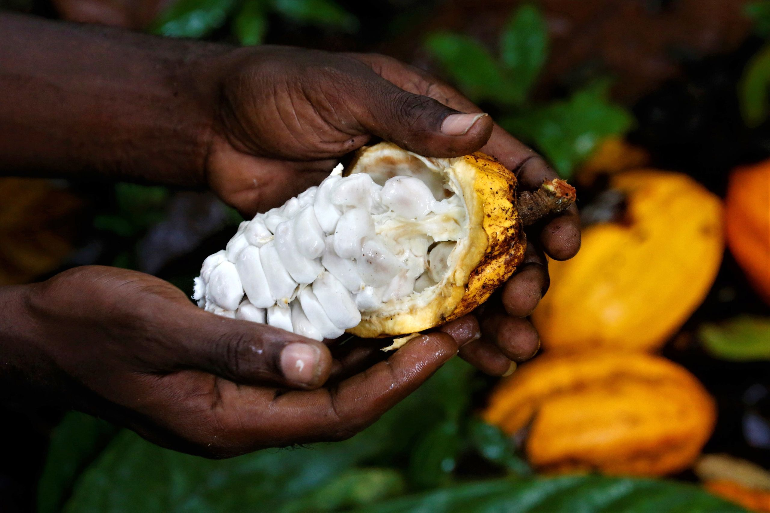 A worker shows the inside of a cocoa pod on a farm in Alepe, Ivory Coast.