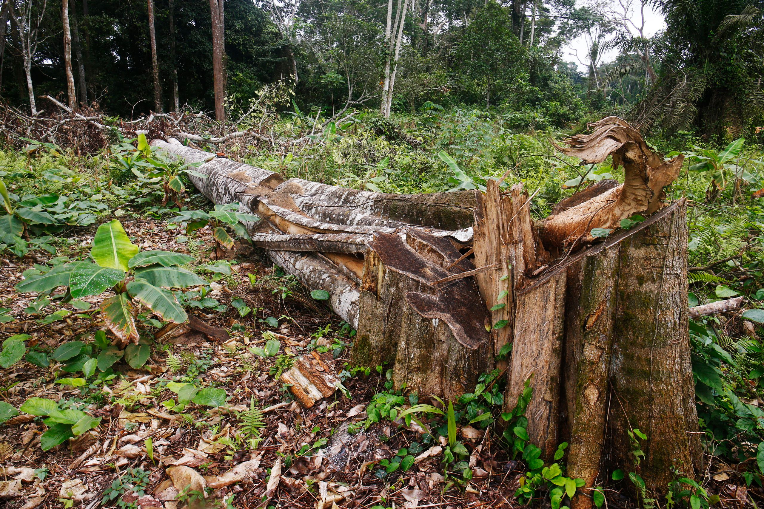 A felled tree on a cocoa farm in Alepe, Ivory Coast. Cocoa farms usually require the removal of shade trees, since cocoa tree