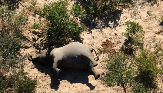 なぜ...死因が解明されてもいまだ謎に包まれる、アフリカゾウ330頭だけが大量死した理由