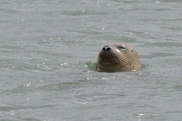 천연기념물 제331호인 점박이물범 한 마리가 23일 오전 경북 포항시 북구 청하면 이가리 항포구에서