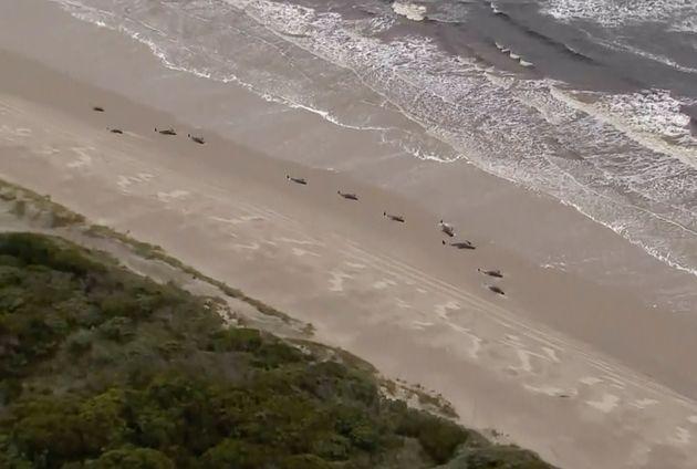 Τραγωδία στην Αυστραλία: Νεκρές οι περισσότερες από τις εκατοντάδες φάλαινες που ξεβράστηκαν στις