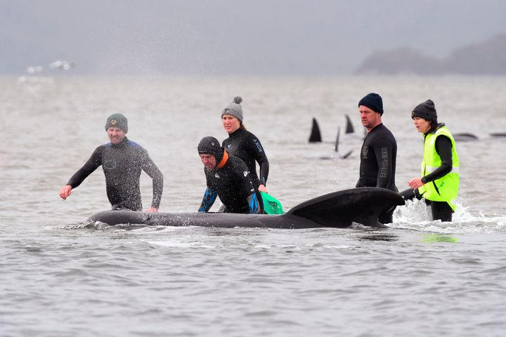 Members of a rescue crew try to help a whale return to the sea.