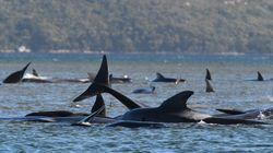 380 balene sono morte nel peggior spiaggiamento di massa nella storia