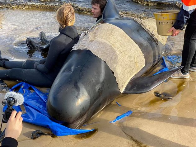 Whale rescue efforts take place at Macquarie Harbour in