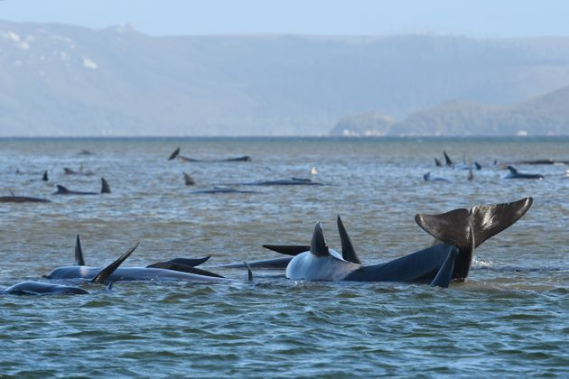 Hundreds of pilot whales are seen stranded on a sand bar on September 21, 2020 in Strahan,