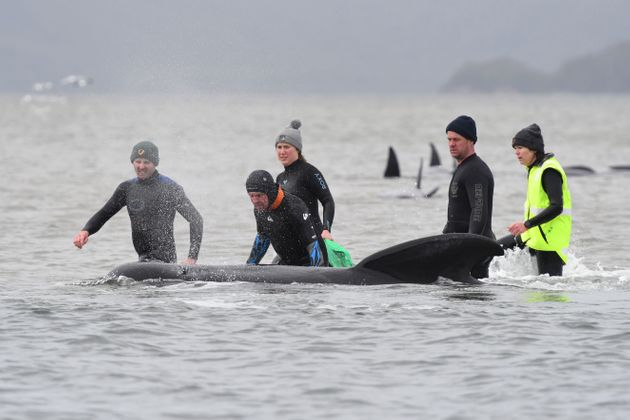 Rescuers work to save a pod of whales stranded on a sandbar in Macquarie Harbour on the rugged west coast...