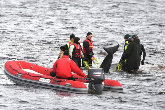 Teams work to rescue hundreds of pilot whales that are stranded on a sand bar in Macquarie Harbour on...