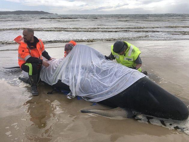 """""""당장 급한 건 살아있는 고래를 찾는 일"""" 고래 380마리 떼죽음 당한 호주 해안가의 미스테리"""