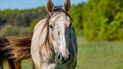 Sur 344 signalements de mutilation de chevaux, au moins 55 sont des
