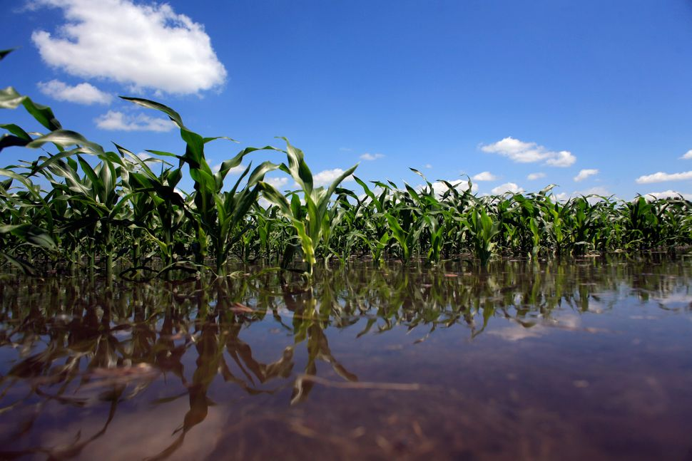 Scientists say flooded corn fields pose a major risk to food supplies as climate change worsens.