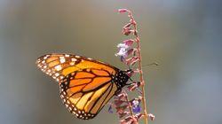 Plus les papillons sont colorés, plus ils souffrent du changement