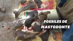 Des chercheurs d'or colombiens tombent sur des os de mastodonte vieux de 10.000
