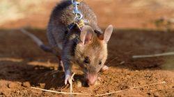 Ce rat reçoit une médaille d'or pour sa