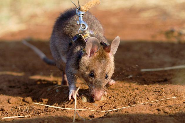 Le travail du rat a permis de déminer près de 141.000 mètres carrés de terrain....
