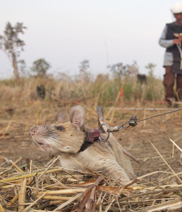 Magawa hard at work, saving lives and detecting landmines in Cambodia.