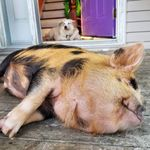 Oh, To Be A Pet Pig Living In Nova Scotia With A Dog