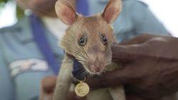 ネズミに金メダル。カンボジアで地雷探知、すぐれた嗅覚と素早さで人命を救う「ヒーロー」に
