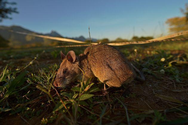 地雷を探索するアフリカオニネズミ